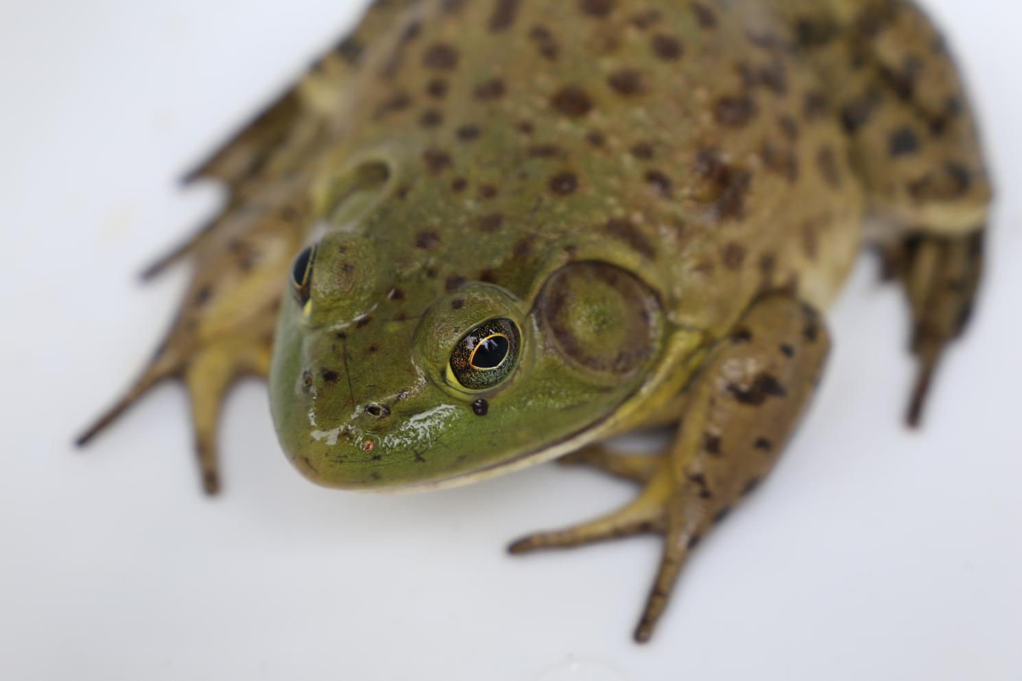 A bullfrog from the top